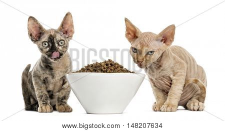 Two Devon rex kittens eating from a white bowl isolated on white