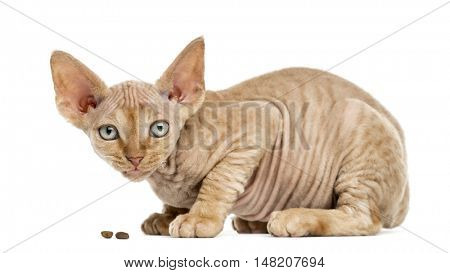 Side view of a Devon rex kitten eating isolated on white