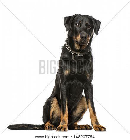 Beauceron sitting down, 16 months old, isolated on white