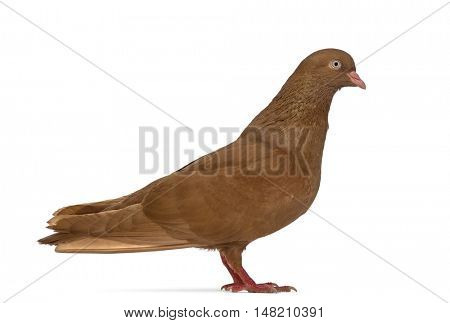 Side view of a Tumbler belgium pigeon looking at the camera isolated on white