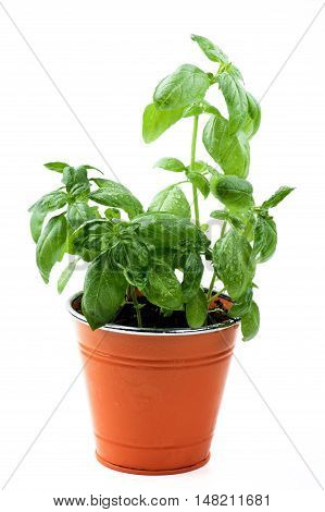 Fresh Green Lush Foliage Basil in Orange Flower Pot isolated on White background