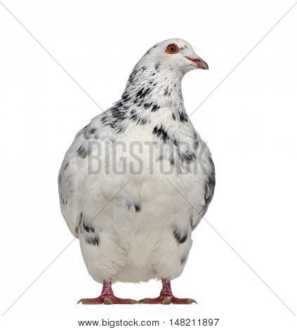 Front view of a Texan pigeon questioning isolated on white