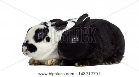 Side view of two dwarf Rex rabbits isolated on white