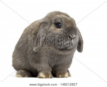 Side view of a cute Holland Lop rabbit isolated on white