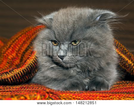 Sleepy dissatisfied gray fluffy kitten in a red plaid knitted bright