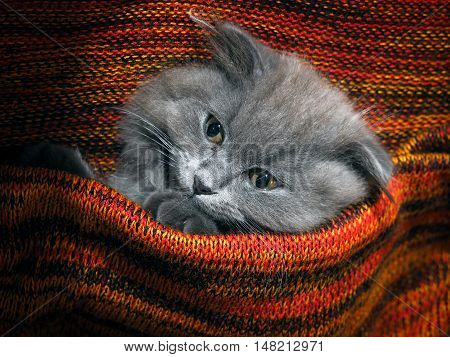 Cute gray fluffy kitten in a red plaid knitted bright