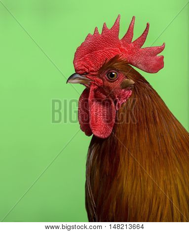 Headshot of Ardennaise rooster against green background
