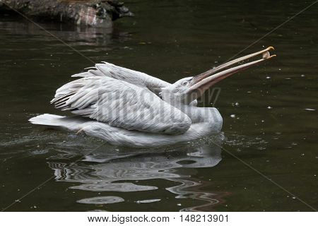 Dalmatian pelican (Pelecanus crispus) juggling stone. Wildlife animal.