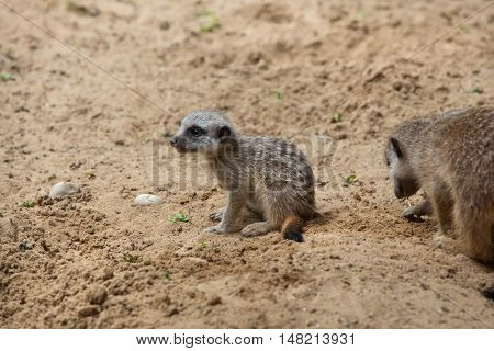 Meerkat (Suricata suricatta), also known as the suricate. Newborn meerkat. Wildlife animal.