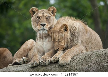 Lioness and juvenile male lion (Panthera leo). Wildlife animal.