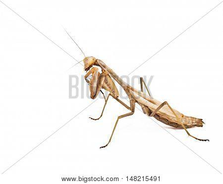 isolated mantis