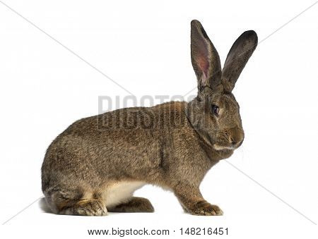 Side view of a Flemish Giant rabbit isolated on white