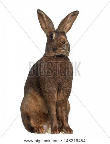 Belgian Hare isolated on white