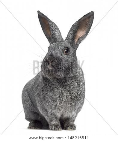 Argente rabbit facing isolated on white