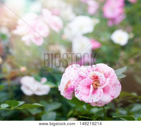 Beautiful Soft Pink Peonies In The Garden, A Beautiful Natural Background And Texture