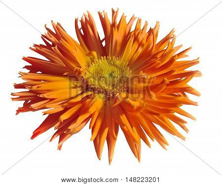 Terry flower of Medicinal plant Calendula isolated on a white background