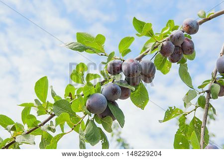 Close Up Of The Plum Tree Branch With Ripe Juicy Fruits On Sunset Light.