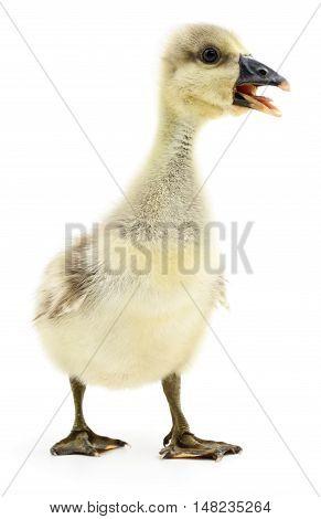 Little grey gosling isolated on white background.