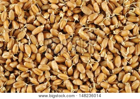 Wheat germs background. The healthy food texture.