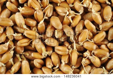 Wheat germs close up background. Healthy food.