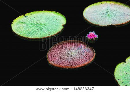 Lotus of leaves with a black background.