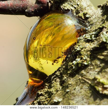 Bright gold  yellow  resin on a tree close up