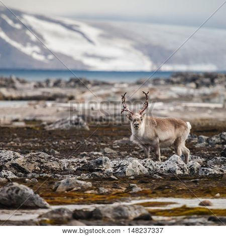 Svalbard reindeer (Rangifer tarandus platyrhynchus) is a reindeer subspecies found on the Svalbard archipelago of Norway.