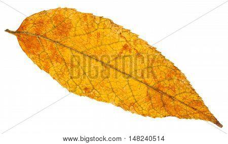 Yellow And Orange Autumn Leaf Of Ash Tree Isolated