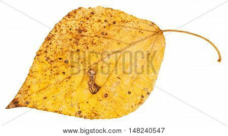 Yellow Fallen Leaf Of Poplar Tree Isolated