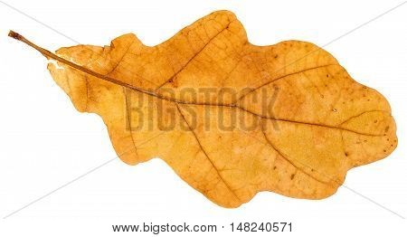 Yellow Fallen Leaf Of Oak Tree Isolated