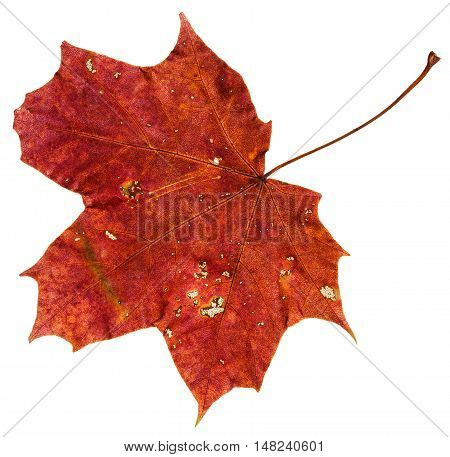 Red Brown Autumn Leaf Of Maple Tree Isolated