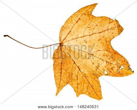 Yellow Died Leaf Of Maple Tree Isolated