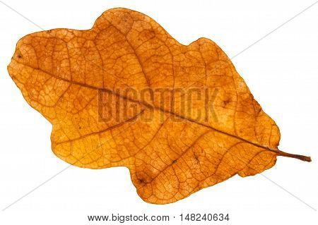 Yellow Brown Autumn Leaf Of Oak Tree Isolated