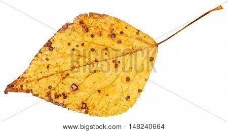 Yellow Autumn Leaf Of Poplar Tree Isolated