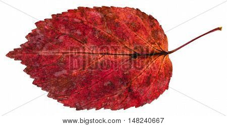 Red Fallen Leaf Of Ash-leaved Maple Tree Isolated