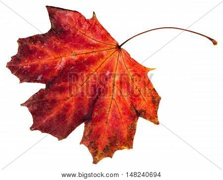 Red Fallen Leaf Of Maple Tree Isolated