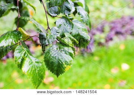 Wet Leaves Of Elm Tree In In Rainy Autumn Day