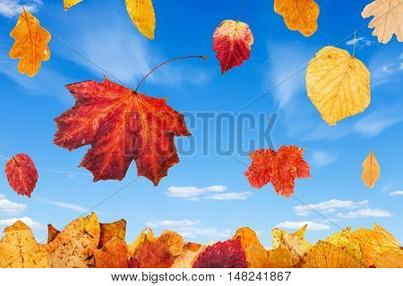 Falling Red And Yellow Autumn Leaves And Blue Sky