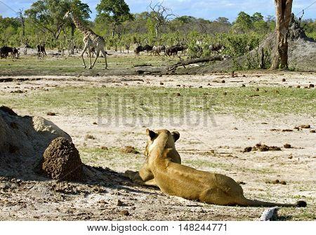 Lioness stalking a giraffe in the distance in Hwange