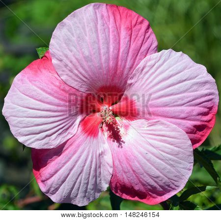 Giant hibiscus is a genus of flowering plants in the mallow family, Malvaceae. It is quite large, containing several hundred species that are native to warm-temperate, subtropical and tropical regions