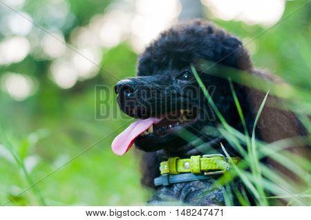 black poodle mug closeup on green grass