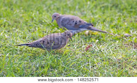 Mourning Doves, Turtle Doves (Zenaida macroura) feeding in green grass, searching for seed scattered there.