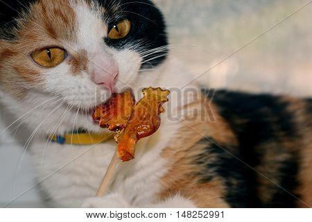 Tricolor cat eats a lollipop in the shape of a cockerel