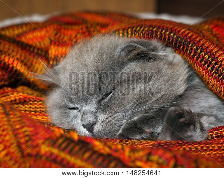 Grey fluffy cat sweetly sleeps under a bright knitted blanket