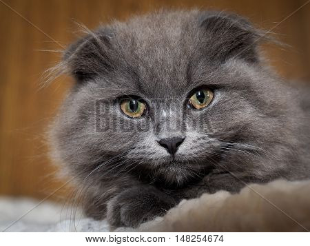 Portrait of a gray British lop-eared cat with yellow eyes