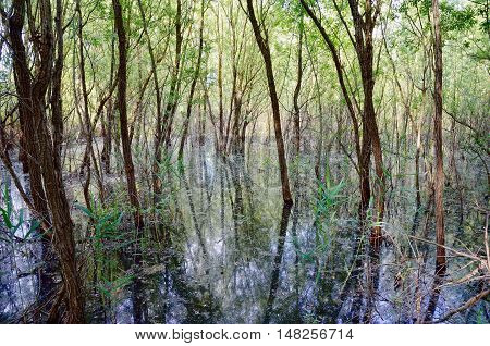 trees in the swamp with low water in spring