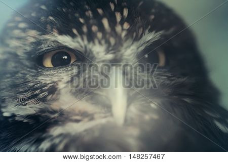 Little owl bird close up animal portrait photo
