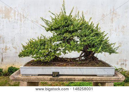 Suzhou China - October 23 2013: Bonsai tree in the Humble Administrator's Garden a Chinese garden in Suzhou a UNESCO World Heritage Site.