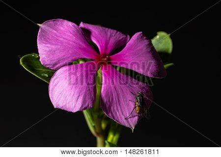 Flowering Purple Vinca Blossom Macro