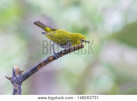 Oriental white-eye Zosterops palpebrosus birds of Thailand